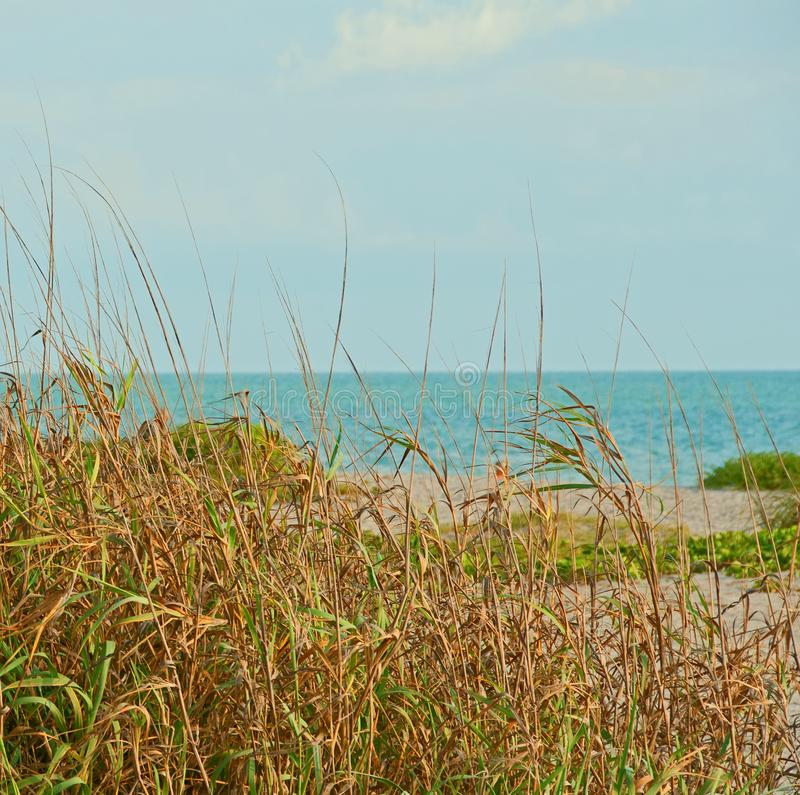 Beach Grass. Photograph of grasses growing on a beach in southwestern Florida royalty free stock images
