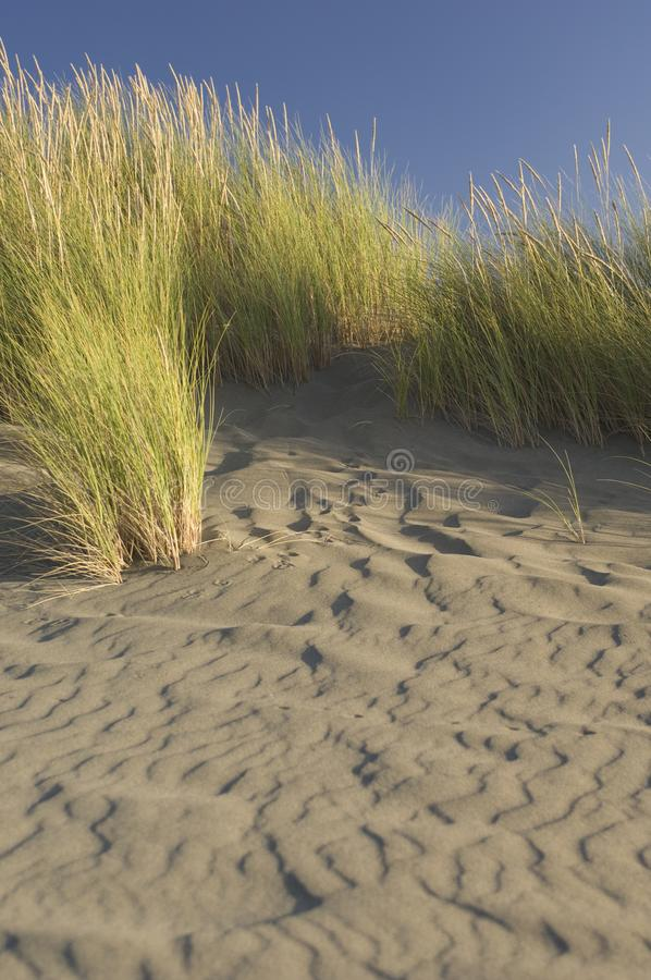 Beach grass on a windswept beach. royalty free stock photo