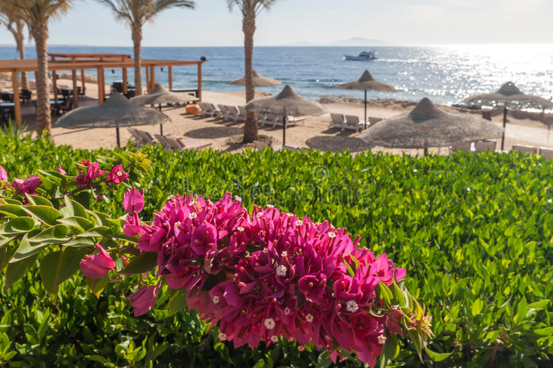 Beach at the luxury hotel, Sharm el Sheikh, Egypt. The beach at the luxury hotel, Sharm el Sheikh, Egypt. in the foreground blooming bougainvillea stock image