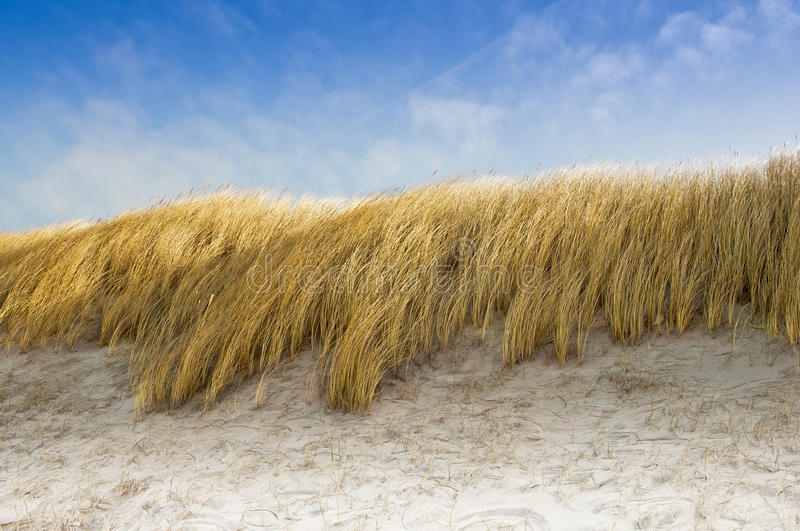 Beach oats as dune protection stock photo