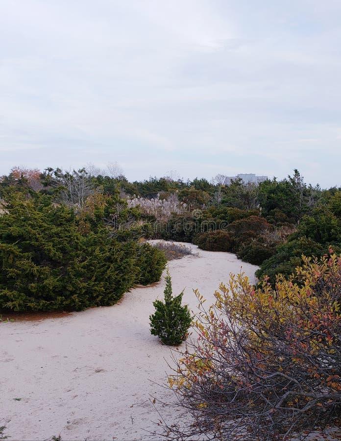 Beach Path. Path through beach foliage with a lone pine tree stock image