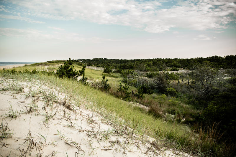Beach pine tree natural barrier. East coast Cape Henlopen State Park Delaware stock photo