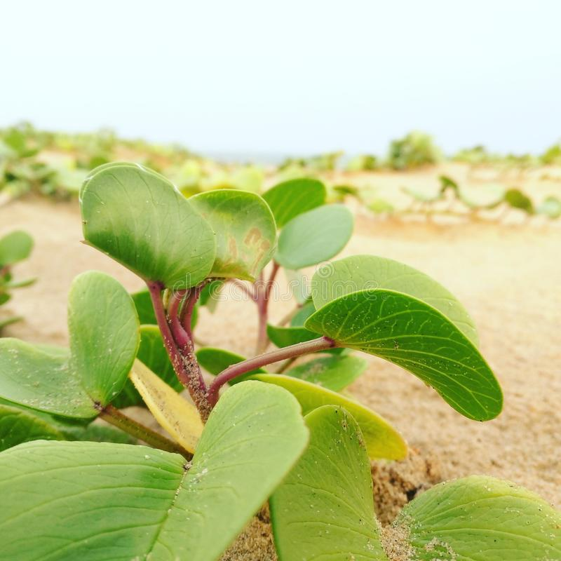 beach plant royalty free stock photography