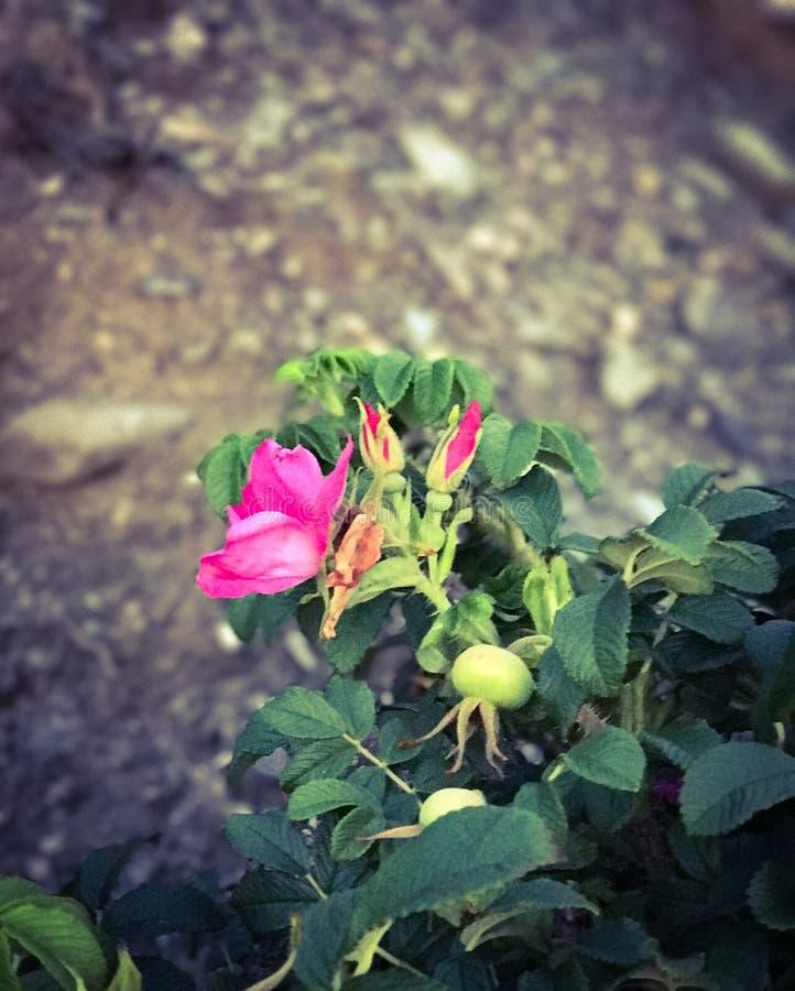Beach roses stock photos