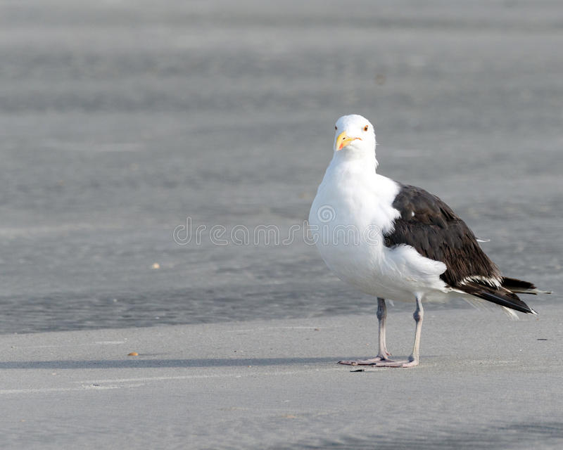 Beach seagull royalty free stock photos
