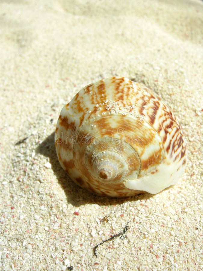 Download Beach shell stock image. Image of beaches, crustacean - 2364803