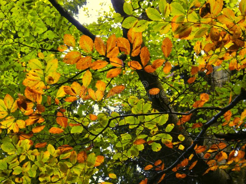 Beech tree foilage and branches with sunlight at autumn daylight, ralxing atmosphere, forest, leafs. Beach tree foilage and branches with sunlight at autumn royalty free stock image