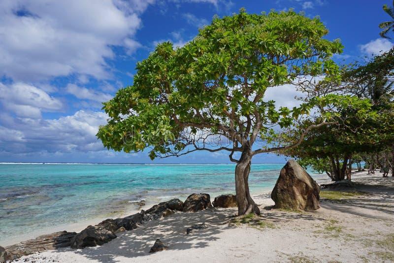 Beach tree rocks lagoon Huahine French Polynesia royalty free stock image