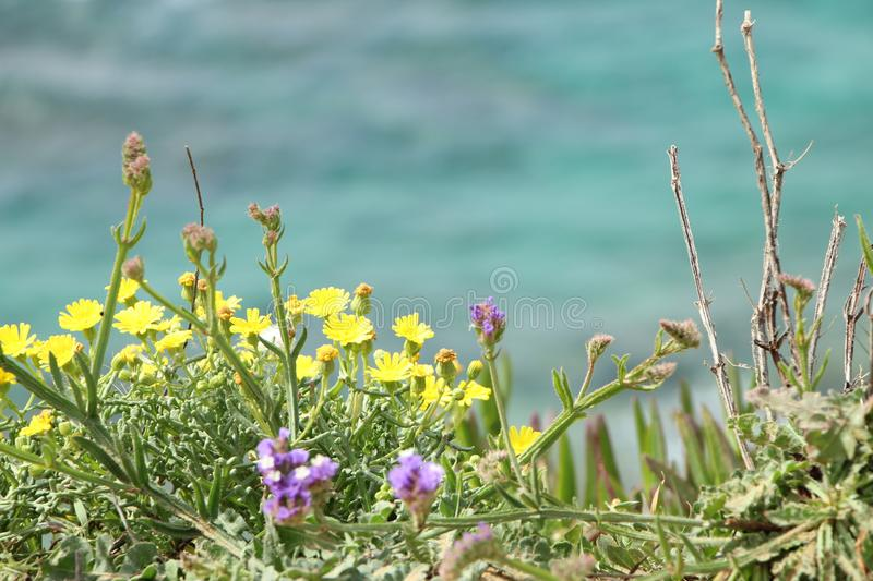 Beach vegetation on a sandy hill, with a blurry sea in the background. Yellow-savory flowers, Sharon Nature Reserve, Mediterranean royalty free stock image