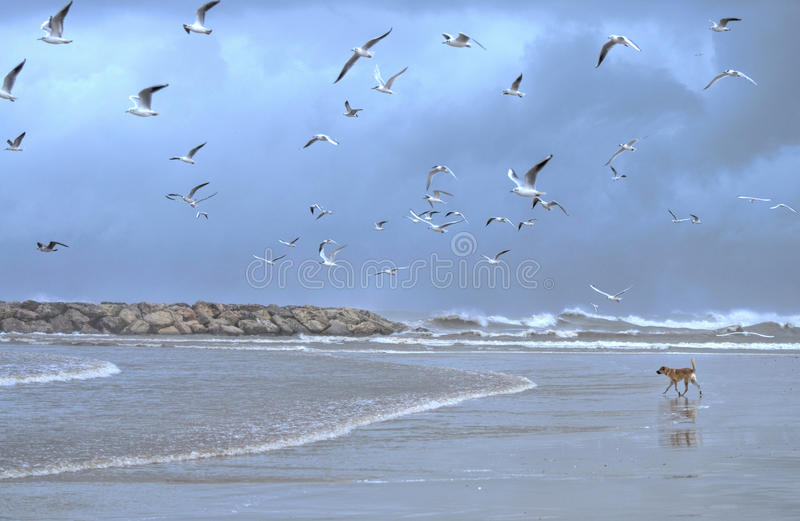 The beach in winter. The beach of Herzlia, Israel, during winter time, a dog plays with the water, birds flying and storm clouds are coming in stock images
