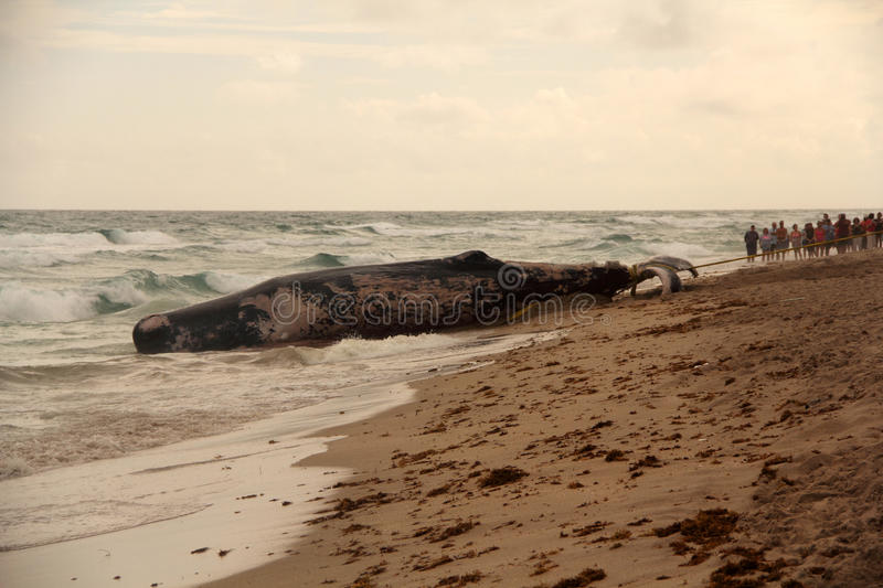 Beached Whale. A deceased young sperm whale that washed ashore awaits removal from a Boca Raton, Florida, beach on January 10, 2014 royalty free stock photo