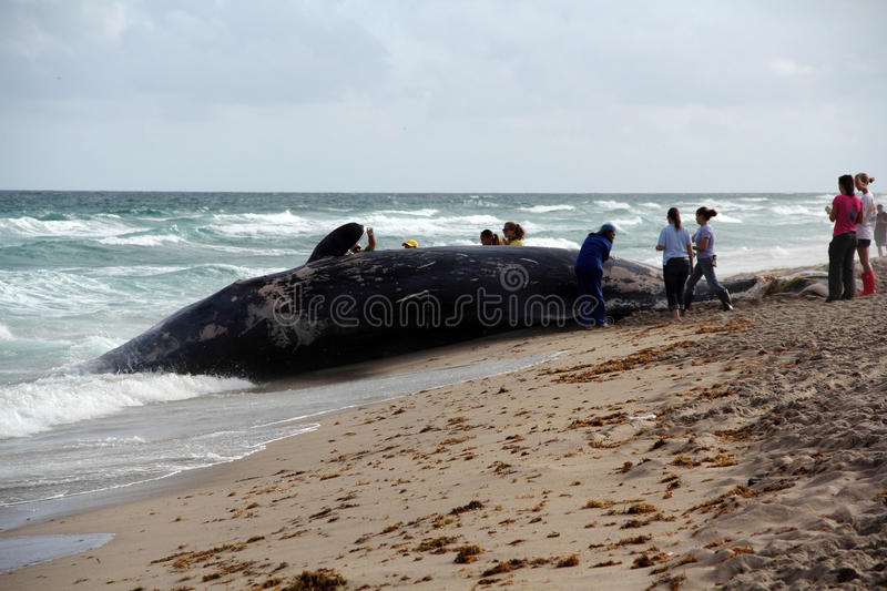 Beached Whale royalty free stock image