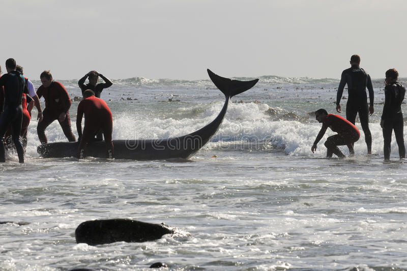Beached whale Kommetjie. 52 beached pilot whales at Kommetjie,Cape Town - after unsuccessful attempts the whales had to be euthenised stock photos