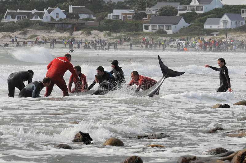 Beached whales Cape Town. Rescuers try in vain to save Beached pilot whales at Kommetjie, Cape Town stock photography