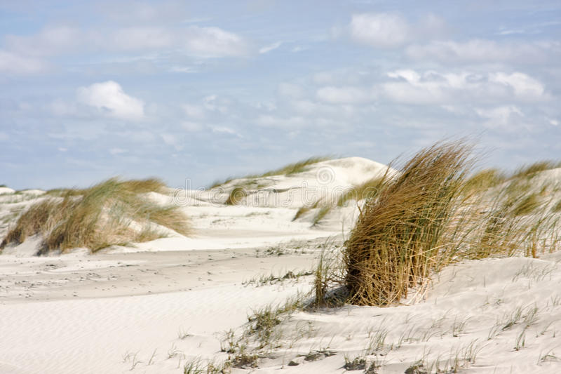 Beachgrass. On a windy day in the dunes of the Dutch coast stock photos