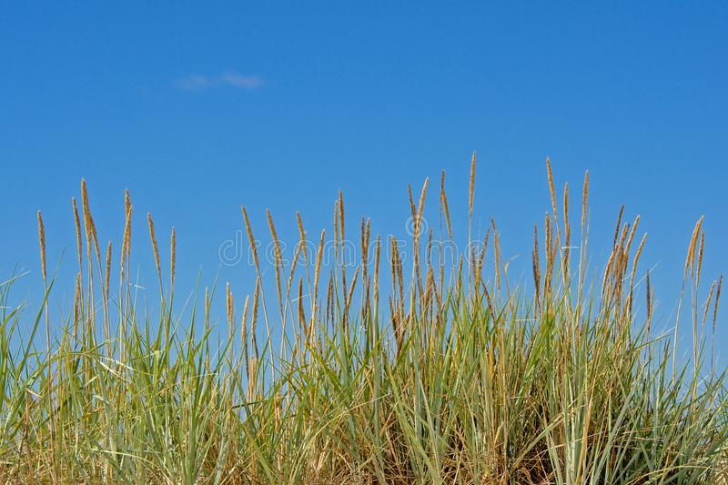 Beachgrass on a clear blue sky. Low angle frontal view - Ammophila arenaria royalty free stock photos
