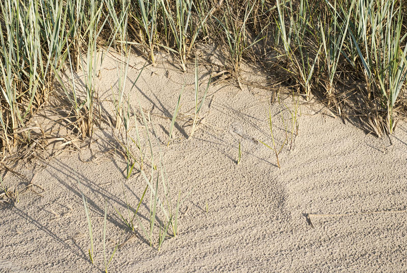 Beachgrass in dunes near the sea. In the summertime stock image