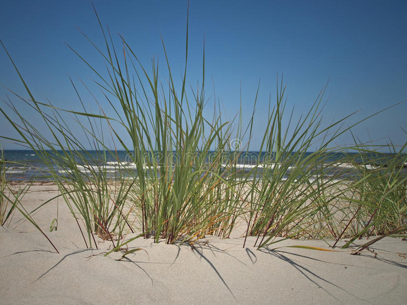 Beachgrass. European beachgrass (ammophila arenaria) at the beach of Zingst, Baltic Sea, Germany royalty free stock photo