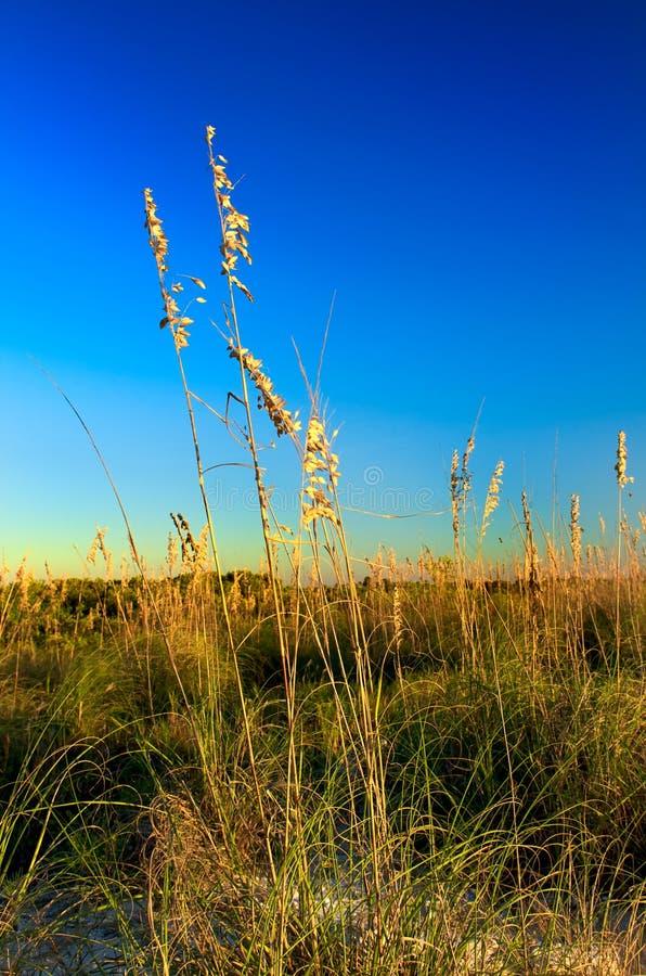 Beachgrass at Honeymoon Island II. Sea Oats in Honeymoon Island, Florida royalty free stock images