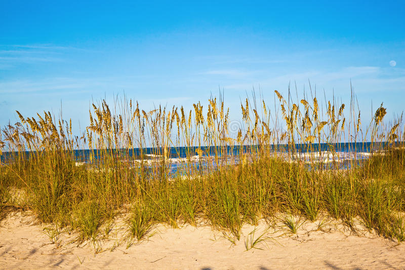 Beachgrass and sand dune in St. Augustine. Marram Grass or American Beachgrass (Ammophila breviligulata) at the beach in St. Augustine royalty free stock photography