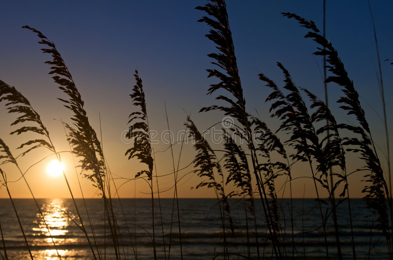 Beachgrass Sunset. Sea Oats in Honeymoon Island, Florida with dramatic sunset in the background stock photos