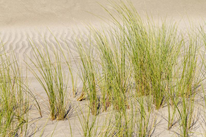 Beachgrass vegetation closeup. Beachgrass vegetation in sandy ambiance seen in southern france royalty free stock photos