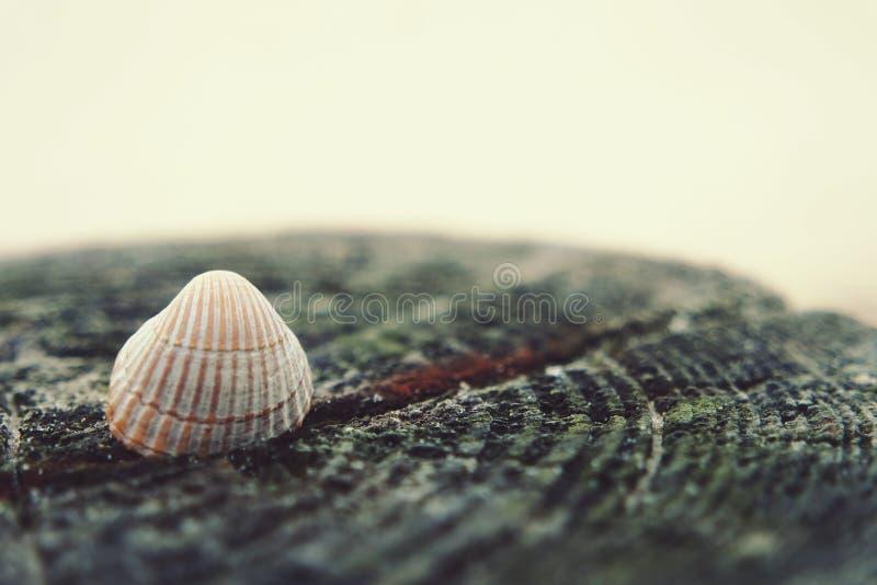 Beachshell stock afbeelding