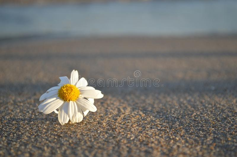 Beachy stokrotka fotografia royalty free