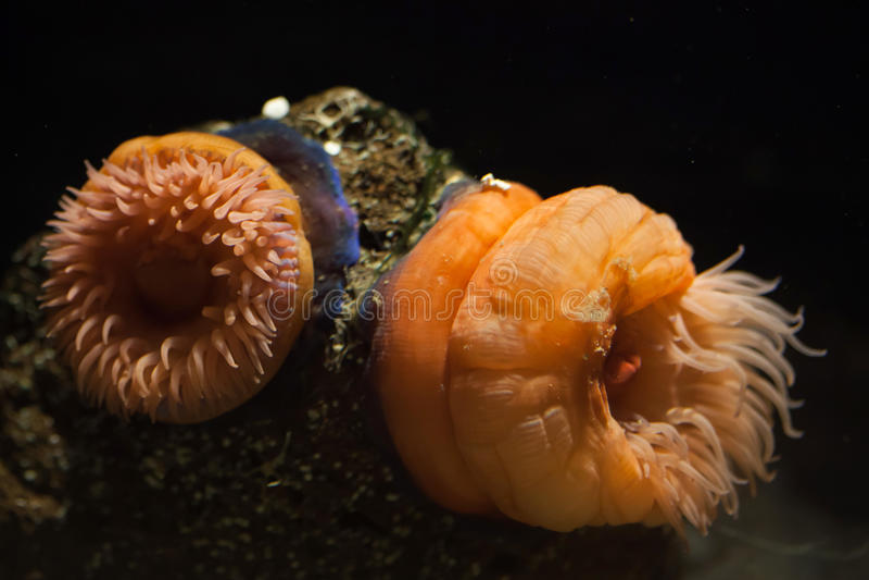 Beadlet anemon (aktyny equine) zdjęcia stock
