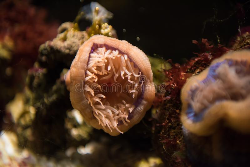 Beadlet anemone. The beadlet anemone, Actinia equina, is a common sea anemone found on rocky shores around all coasts of the British Isles royalty free stock image