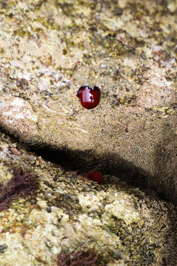The beadlet anemone or Actinia equina. The beadlet anemone, Actinia equina, is a common sea anemone found on rocky shores around all coasts of the United Kingdom stock photography