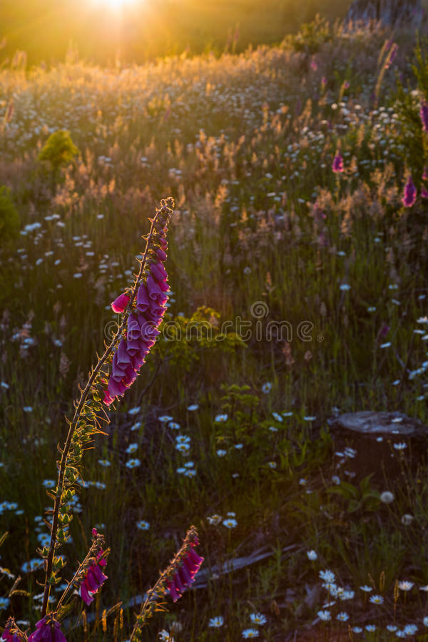 Beads in a Box. Sunset in a clearcut area now overgrown with wildflowers and grasses royalty free stock photography