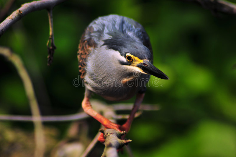 Download Beady eye stock photo. Image of butorides, beak, heron - 6563988