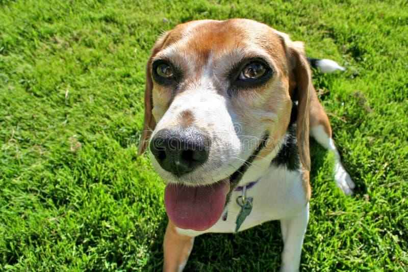 Beagle śmieszny portret zdjęcia stock