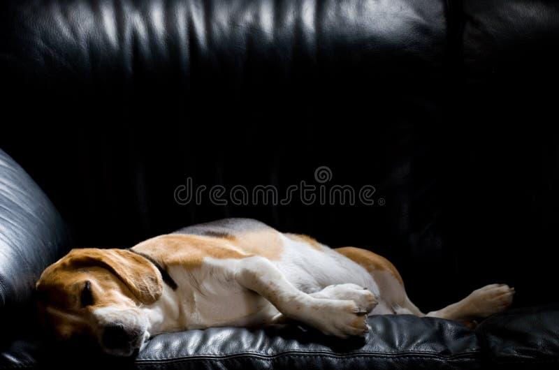 beagle ленивый стоковое изображение