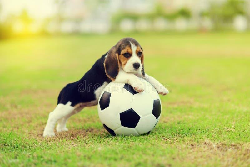 beagle милый стоковое изображение