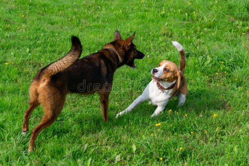 beagle Орегон пляжа стоковые изображения rf