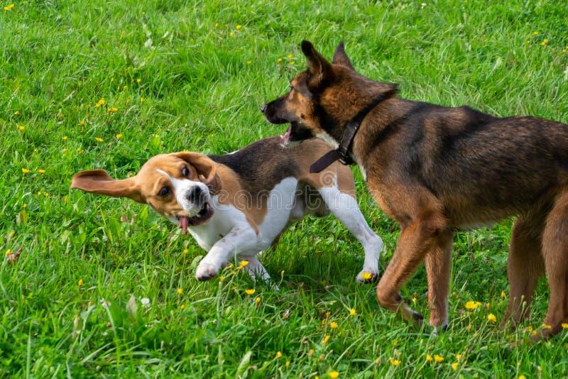 beagle Орегон пляжа стоковые фотографии rf