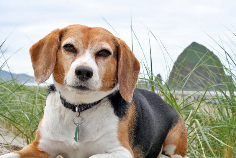beagle Орегон пляжа стоковое изображение rf
