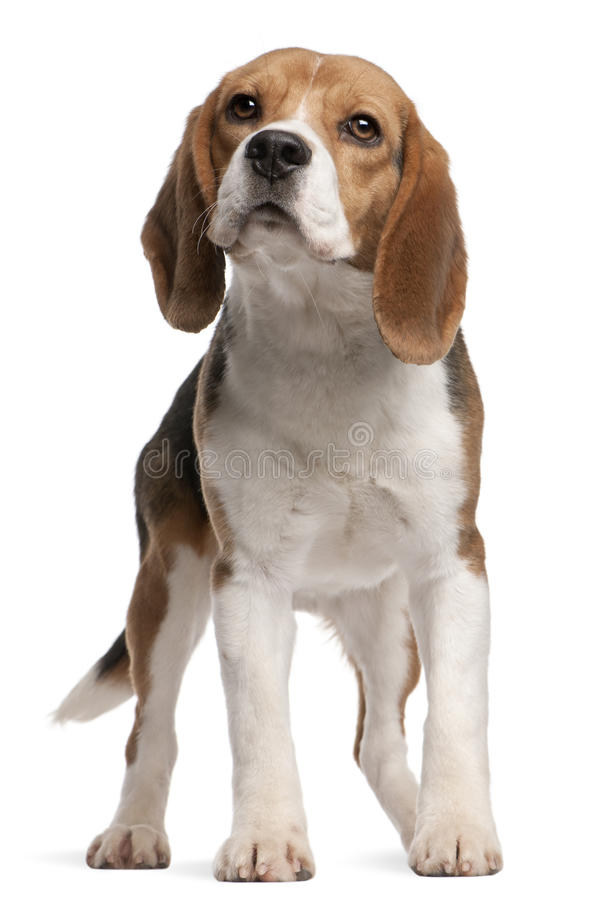 Beagle, 1 year old, standing stock photos