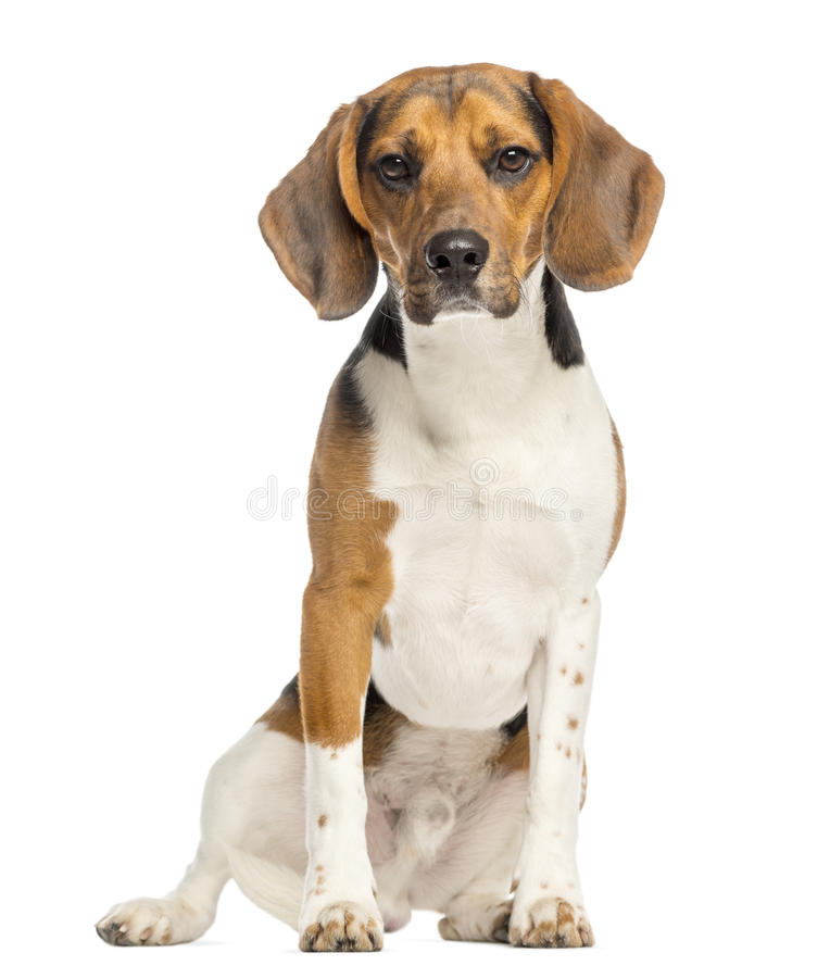 Free Beagle,11 Months Old, Sitting And Facing Stock Photos - 30818223