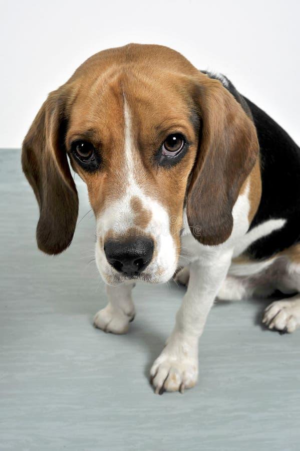 Beagle fotografía de archivo libre de regalías