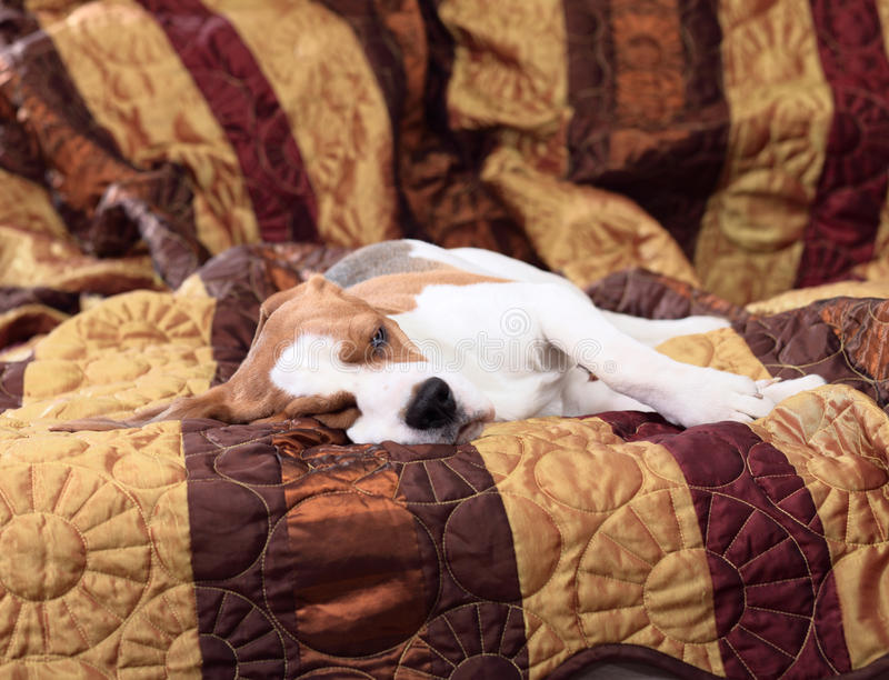 Beagle. While owner not at home stock photos