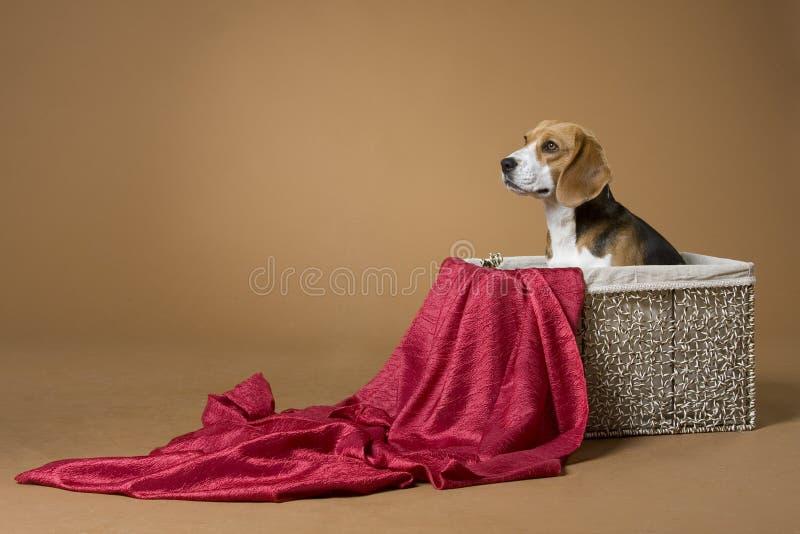 Beagle_2 imágenes de archivo libres de regalías