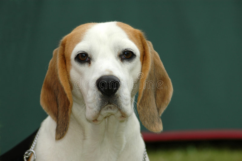 beagle obraz royalty free