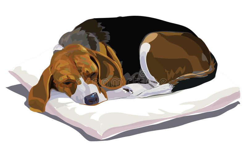Beagle. My belove beagle is sleeping after playing royalty free illustration