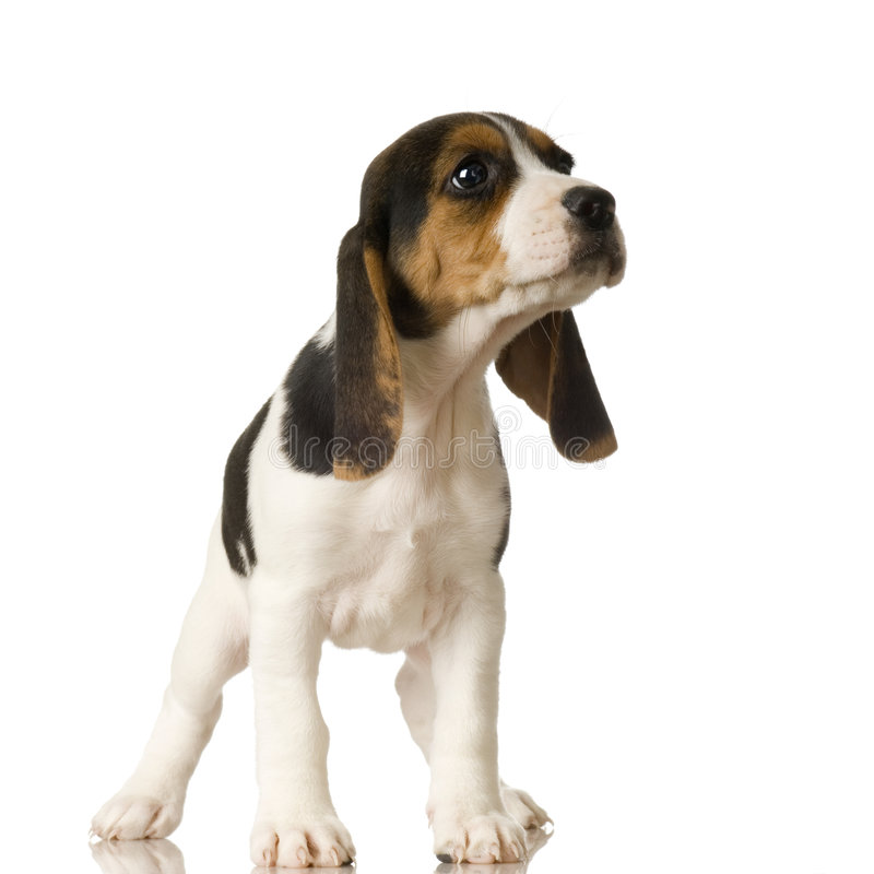 Free Beagle Stock Photo - 2764210