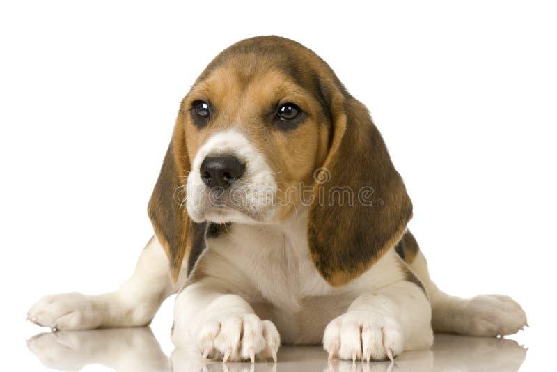 Beagle stock images