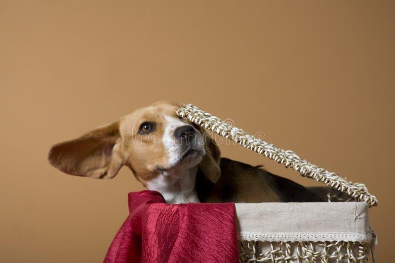Beagle_3 fotos de archivo libres de regalías