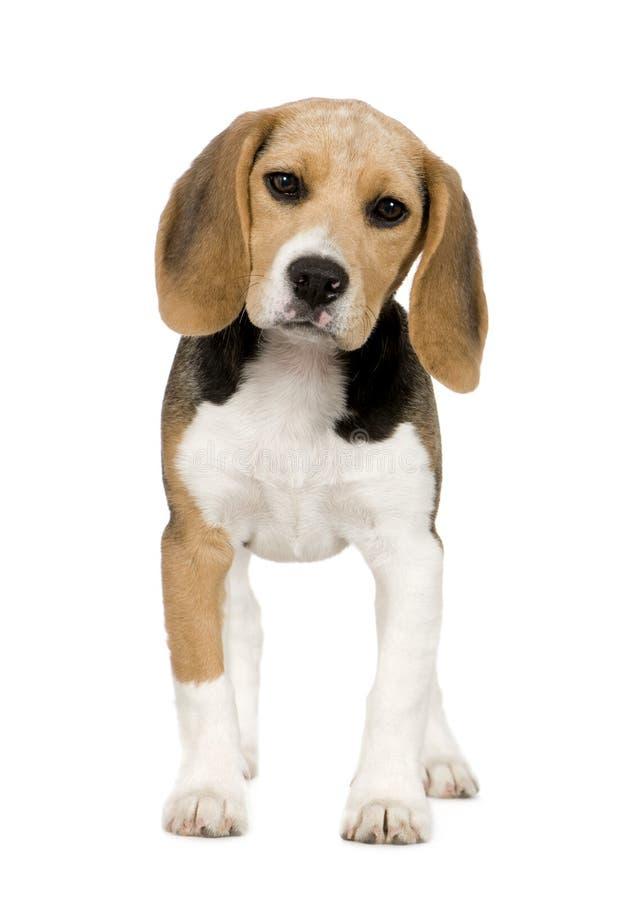 Beagle (3 months) stock photos